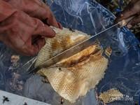 Proses pembelahan sarang lebah yang sekaligus disaring untuk memisahkan madu dari kotoran.