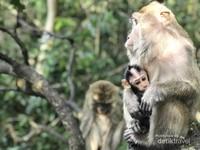 Monyet Pulau Kembang
