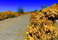 Bunga gorse liar yang bermekaran di plateau Paul da Serra