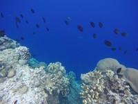 Ikan-ikan penghuni bawah laut Bunaken bisa dijumpai dengan snorkeling