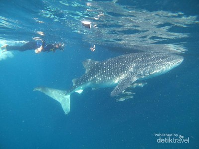 Berenang Bareng Hiu Paus di Derawan, Mantap!