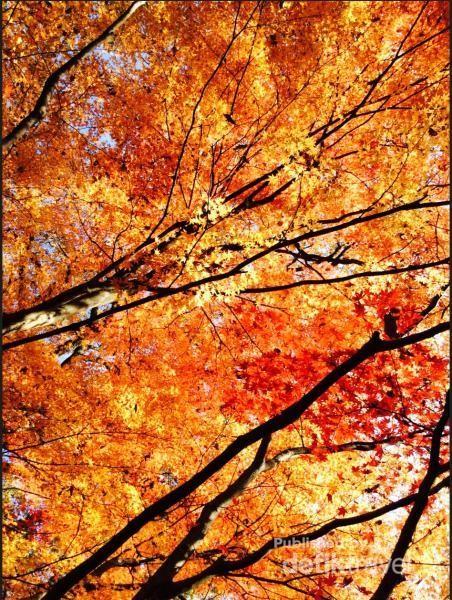 Pohon maple di Shinrin Shokubutsuen (Kobe Municipal Arboretum)