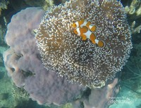 Ikan ini sering ditemui di perairan tropis seperti Samudera Hindia dan samudera Pasifik