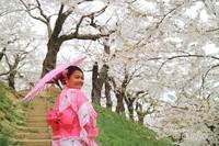Berjalan santai di bawah Sakura yang rindang dengan mengenakan kimono.