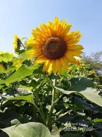Indahnya warna kuning cerah dari bunga matahari.