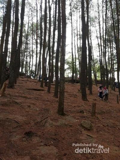 Menikmati Segarnya Hutan Pinus Cantik di Bantul