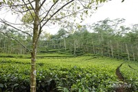 Kebun teh Nglinggo, Kulonprogo.