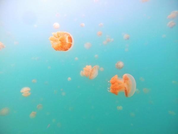 Bersama ribuan ubur-ubur cantik!