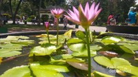 Teratai di Borobudurkok lebih inah daripada yang umum?