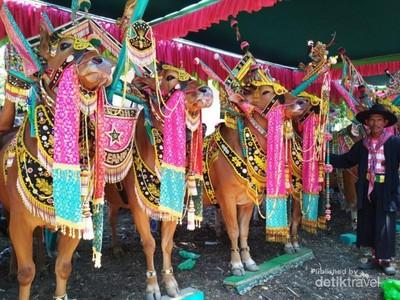 Kontes Kecantikan Sapi di Madura