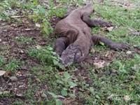 Komodo adalah hewan purba terakhir yang masih ada hingga saat ini