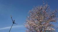 Pohon Bungur yang mirip sakura, salah satu spot foto di halaman Pura Mangkunegaran.