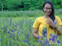 Apakah traveler ingin mengambil gambar ditengah hamparan bunga lavender? Yah. Padang Noinbila bisa menjadi tempat untuk kalian.