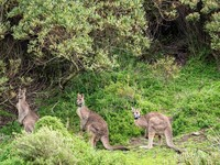 Kanguru di Taman Nasional Wilsons Promontory