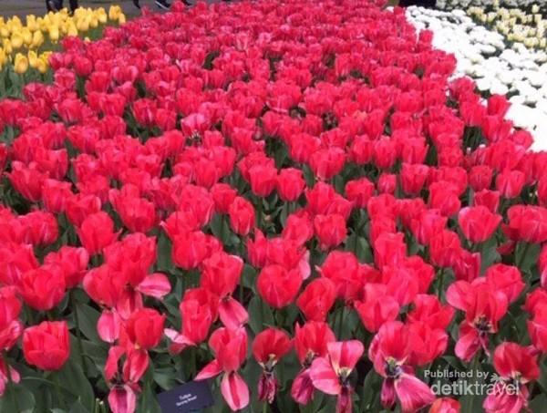Festival bunga tulip di Belanda