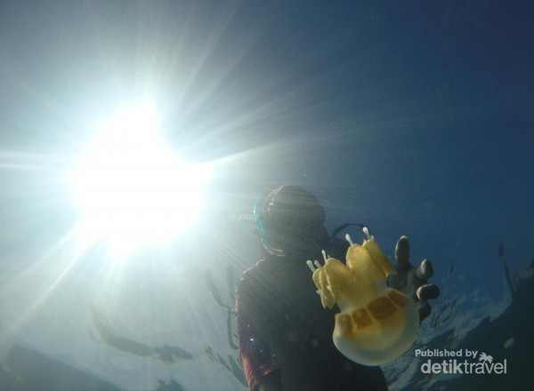 Jenis ubur-ubur yang terdapat di danau Kakaban sangat langka karena mereka tidak menyengat.