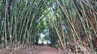 Abadikan momen traveler di lorong bambu ini!