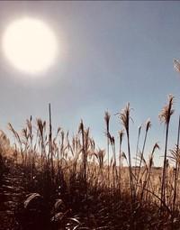 Alang-alang yang menari di bawah hangatnya sinar matahari