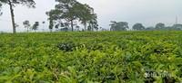 Kandungan Tanin tertinggi di Indonesia karena faktor tanah gunung Kerinci dan sumber air yang mengandung Alkaline