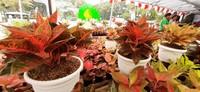 Aneka tanaman cantik seperti Aglaonema dipamerkan disini
