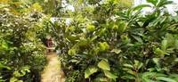 Ada juga berbagai jenis bibit pohon rambutan