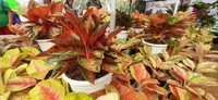Aneka varian Aglaonema yang catik tersedia juga di pameran ini lho