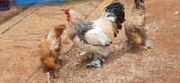 Ada juga berbagai jenis ayam yang unik dan berbagai macam unggas