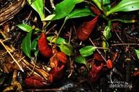 Nepenthes gymnamphora, salah satu tanaman pemakan serangga (carnivorous plants) endemik jawa yang bisa ditemui di dasar hutan di rimbunan kanopi hutan hujan tropis di kawasan Taman Nasional Gunung Halimun Salak.