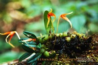 Anggrek Bulbophyllum stormmi , sebuah anggrek epifit yang berukuran kecil sedang berbunga di hutan Gunung Botol, di kawasan Taman Nasional Gunung Halimun Salak (TNGHS), Jawa Barat. Bulbophyllum stormii merupakan salah satu anggrek spesies asli Indonesia