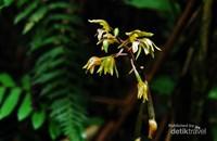 Chrysoglossum ornatum salah satu anggrek terestrial yang bisa ditemui di kawasan Taman Nasional Gunung Halimun Salak (TNGHS), Jawa Barat.