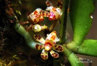 Gastrochilus sororius yang sedang mekar di Gunung Kendeng, Taman Nasional Gunung Halimun Salak (TNGHS), Jawa Barat. Gastrochilus sororius merupakan salah satu anggrek spesies dengan corak bunga unik yang menjadi kekayaan TNGHS.
