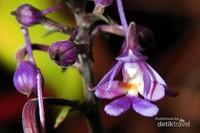 Calanthe cecilia adalah salah satu anggrek terestrial yang bisa ditemui di hutan hujan tropis di ketinggian antara 1000-2000 m dpl. Anggrek Calanthe yang sedang berbunga ini ditemui di Gunung Botol, di kawasan Taman Nasional Gunung Halimun Salak, Jawa Barat