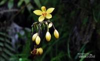 Anggrek Spatoglothis sp berwarna kuning yang berasal dari kawasan Taman Nasional Gunung Halimun Salak, Banten. Anggrek ini biasanya menyukai tempat terbuka diantara semak atau alang-alang. Selain Spatogolthis berwarna kuning di TNGHS juga bisa ditemui Spatoglothis warna ungu dan putih.