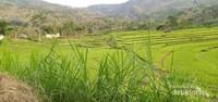 Sawah hijau dengan hiasan rumput gajah