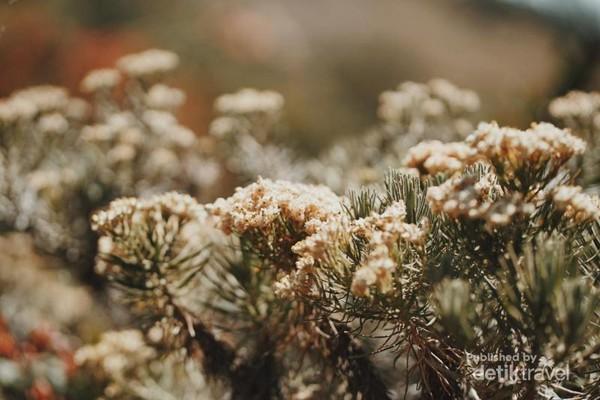 Edelweis putih. (Kredit: Adam)