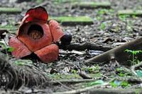 Rafflesia patma Blume (Raffl) sedang mekar di kawasan Kebun Raya Bogor, Jawa Barat. Rafflesia patma merupakan salah satu jenis Rafflesia yang merupakan endemik jawa.