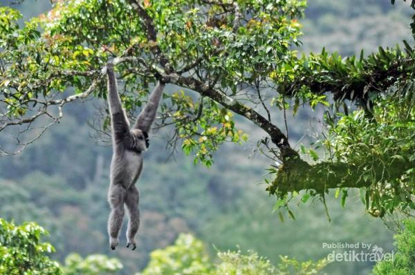 Seekor owa jawa (Hylobates moloch) bergelantungan dari dahan kedahan lain untuk mencari makan di kawasan hutan hujan tropis Taman Nasional Gunung Gede Pangrango, Jawa Barat. Owa Jawa merupakan salah satu satwa endemik jawa yang ada di Gunung Gede.