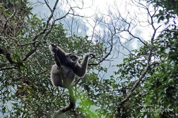 Seekor owa jawa (Hylobates moloch)  mencari makan di kawasan hutan hujan tropis Taman Nasional Gunung Gede Pangrango, Jawa Barat di sekitar jalur Rawa Gayonggong. Owa Jawa merupakan salah satu satwa endemik jawa yang ada di Gunung Gede.
