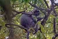 Lutung jawa (Trachypitheus auretus) atau javan gibbon atau javan leaf monkey sedang mencari makan berupa daun-daunan di sekitar jalur interpretasi yang mengarah ke Curug Ciwalen di kawasan Taman Nasional Gunung Gede-Pangrango (TNGGP) Jawa Barat.