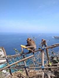 Salah satu Monyet yang berkeliaran di Nusa Penida Island
