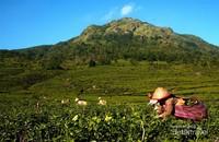 Para pemetik teh memetik pucuk-pucuk daun teh di perkebunan teh di lereng gunung Ungaran (2050 M dpl) di Semarang, Jawa Tengah.