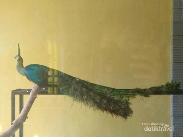 Burung Merak, salah satu koleksi di istana burung. Selain itu juga terdapat burung nuri, burung merpati, burung betet dan masih banyak lainnya.