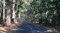 Pohon-pohon dengan ukuran besar, seolah pohon purba, di jalur menuju pantai