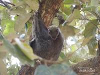 Lucunya binatang yang menggelayut di batang pohon ini