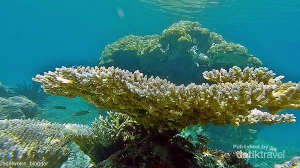 terumbu karang di Balabalakang didominasi oleh Hard Coral.