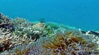 di sela-sela terumbu karang juga banyak anemon dan ikan nemo.