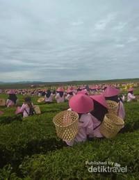 Persiapan petik teh massal