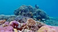 terumbu karang kepulauan Balabalakng didominasi karang keras.