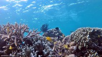 terumbu karang balabalakang sangat berwarna-warni