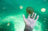 Boleh menyentuh ubur ubur tapi jangan sampai diremas atau diangkat ke permukaan air.